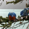 Blue birds perched in a tree by susan fae art - happiness haglund